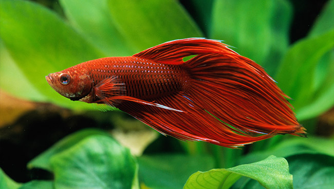 Dark red betta fish - photo#47